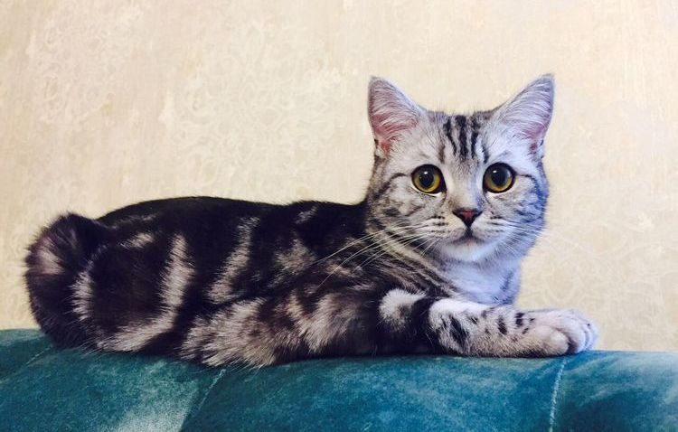 Питомник шотландских кошек Style Jasmine