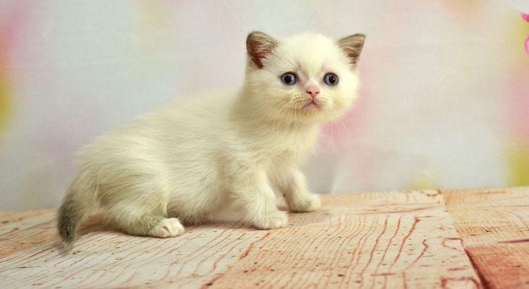 Питомник шотландских кошек Milenbrit