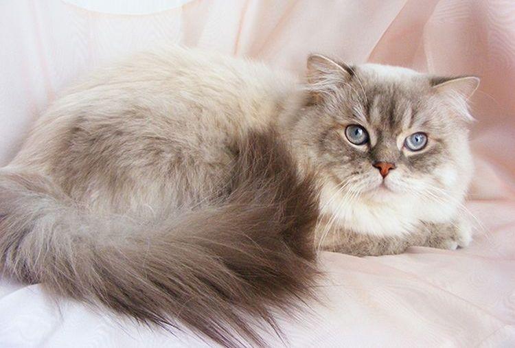 Питомник шотландских кошек Lissyonok-Wookiee