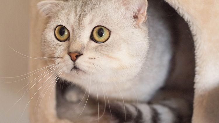 Питомник шотландских кошек в Москве