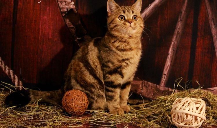 Питомник шотландских кошек  Kalistofius cats