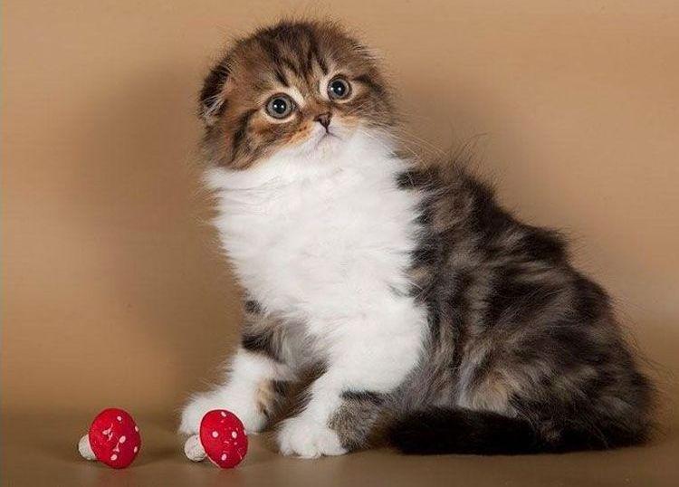 Питомник шотландских кошек Anykey