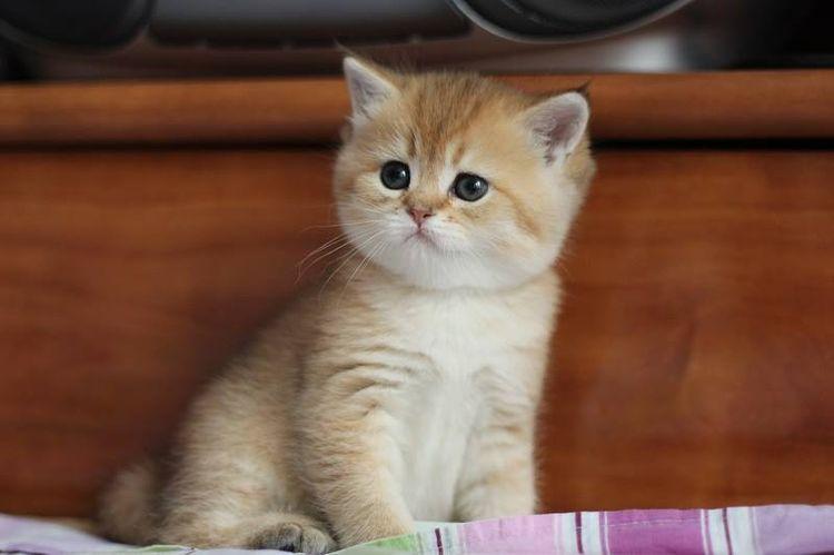 Питомник шотландских кошек Silver Charm