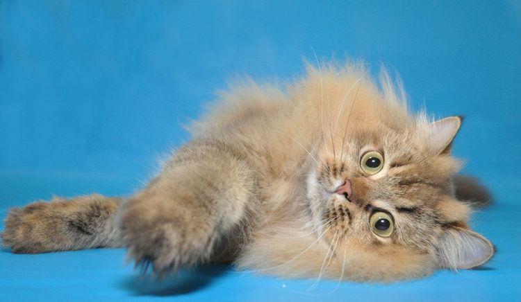 Питомник шотландских кошек L'Mur