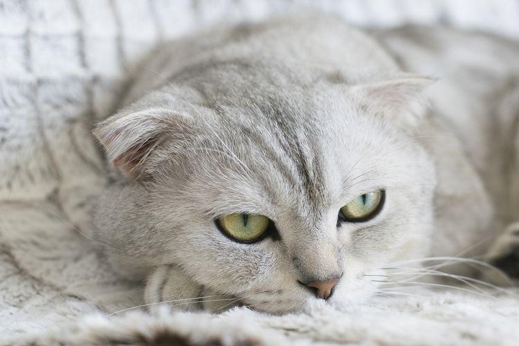 Питомники шотландских кошек в Москве и Санкт-Петербурге