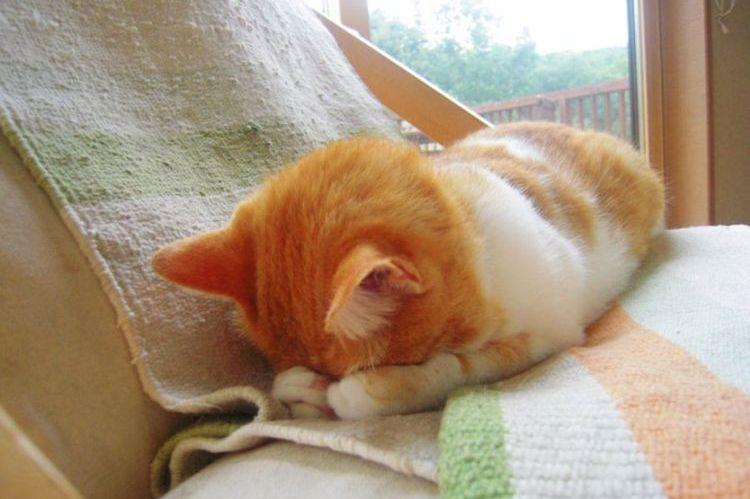 Рыжий кот прячется в лапы
