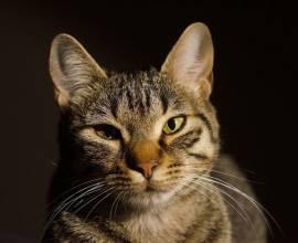 У кошки слезится глаз