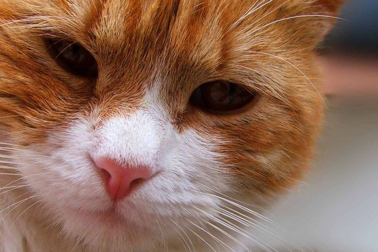 Шишки на животе у кошки: что это такое?