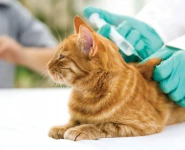Вакцинация кошки от бешенства