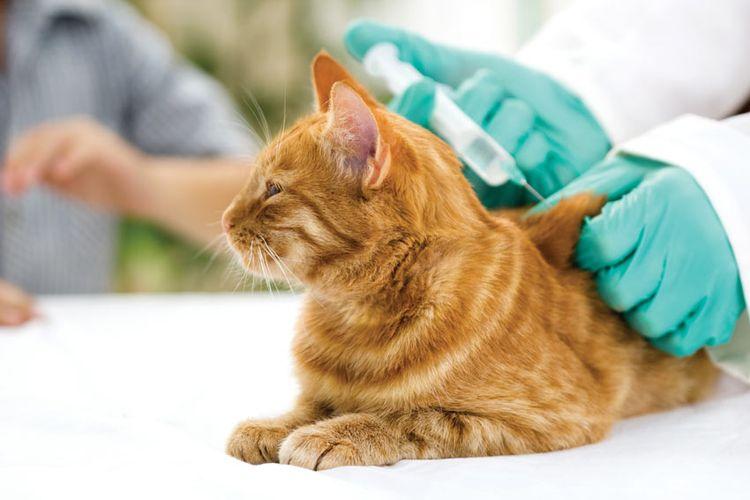 Вакцины против бешенства у кошек: виды и правила вакцинации, какую выбрать, за или против