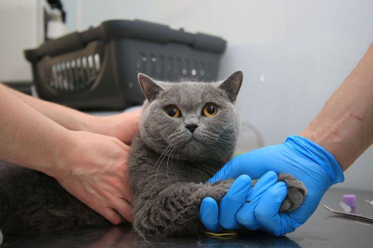 Взятие крови у кошки