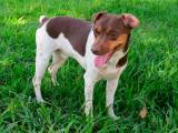 собака породы Бразильский терьер