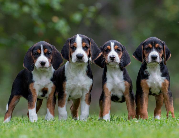четыре щенка породы Финская гончая