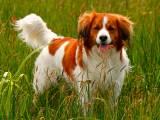 порода собак коикерхондье