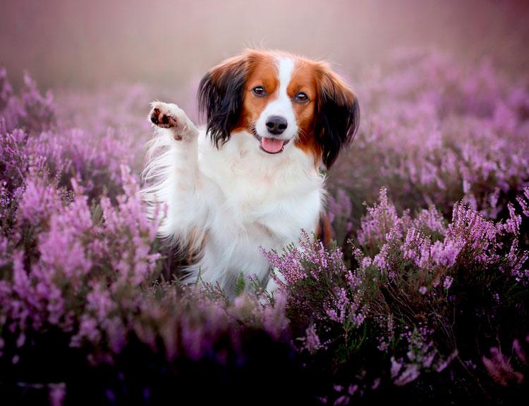 собака породы коикерхондье