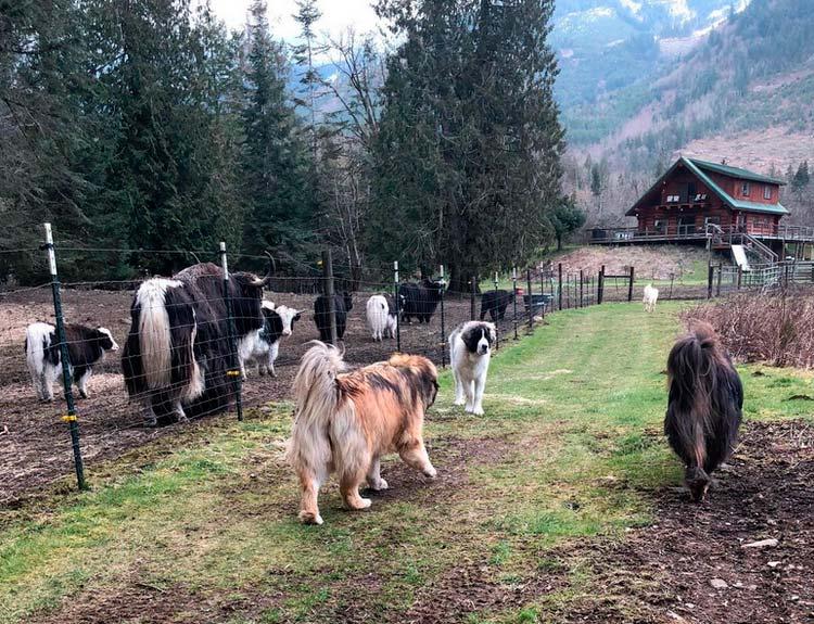собаки породы пиренейский мастиф