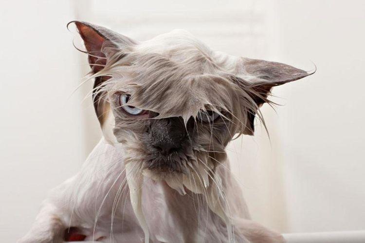 Недовольный мокрый кот