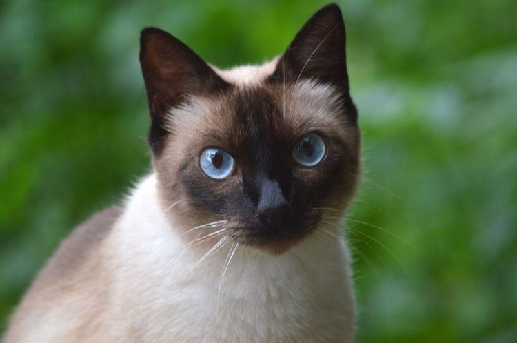 Кошка с синими глазами