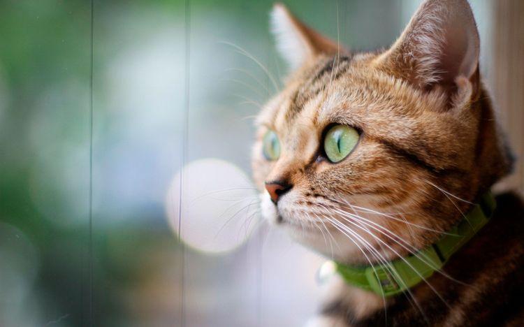 Кот в ошейнике для блох