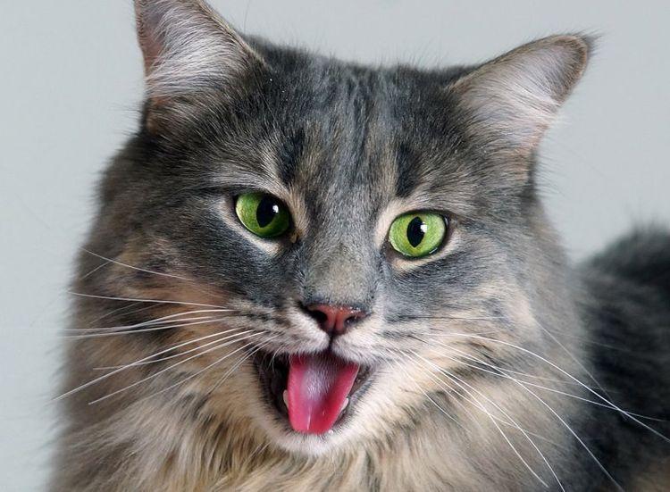 Кот дышит ртом