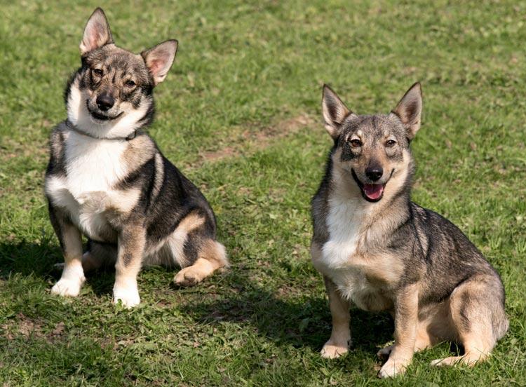собаки породы Шведский вальхунд