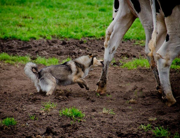 Шведский вальхунд пасет коров