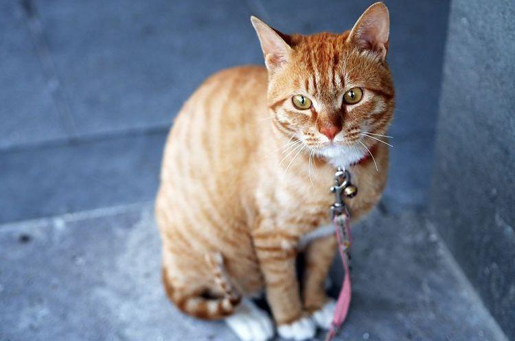 Грустный кот на поводке