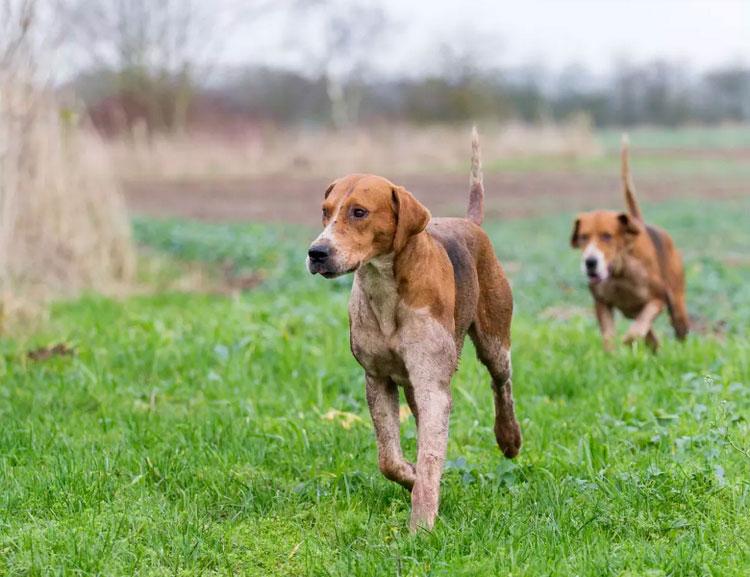 собаки породы английский фоксхаунд