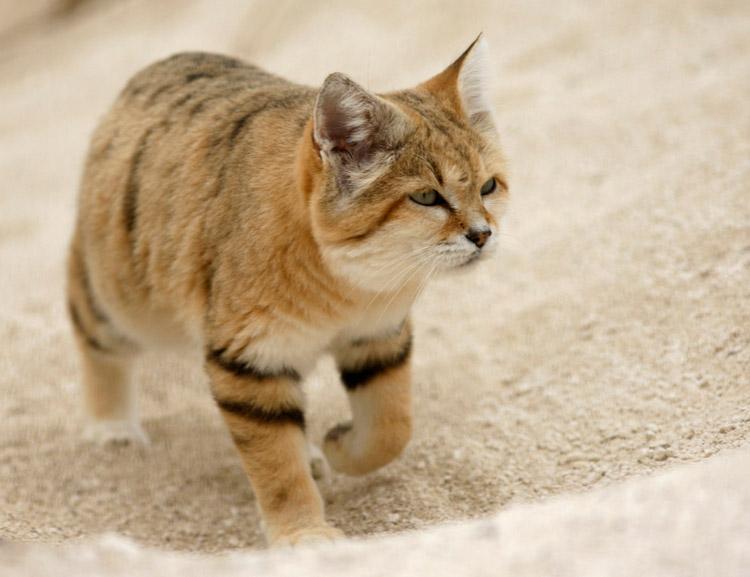 Барханный кот или степной кот