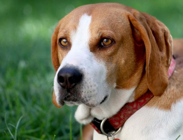 собака породы Харьер