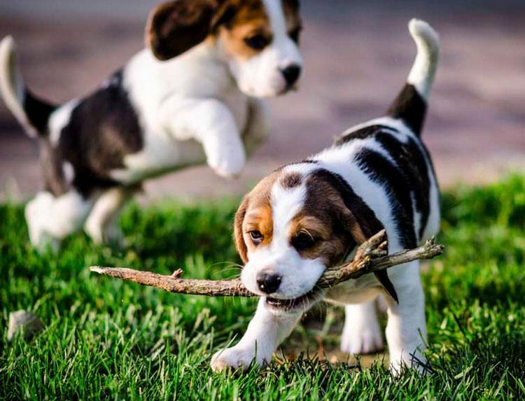 щенок харьер