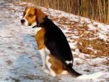 собака породы Харьер (Английская заячья гончая)