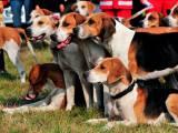 собаки породы харьер