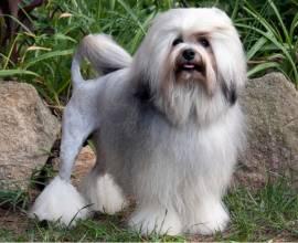 Левхен - малая львиная собака