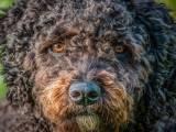 Испанская водяная собака морда