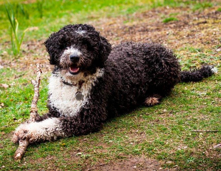 собака породы Испанская водяная