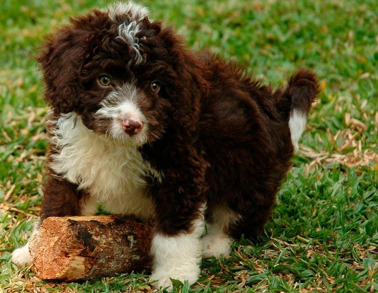 щенок Испанская водяная собака