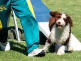 Испанская водяная собака на аджилити