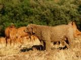 Испанская водяная собака - пастух