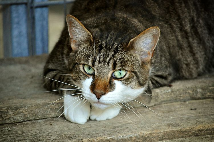 Кошка чешет шею и голову
