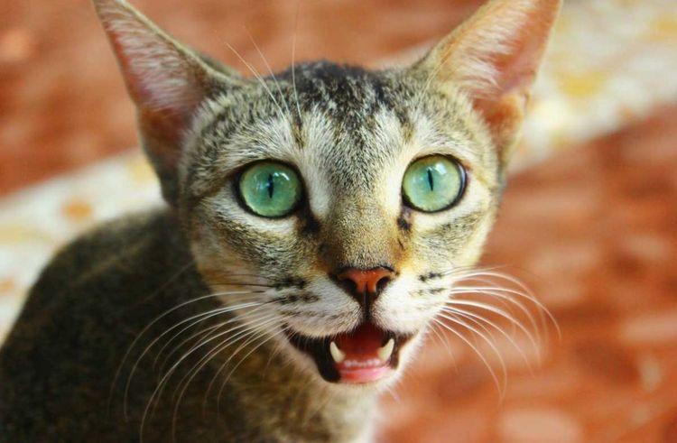 Кошка дышит с открытой пастью