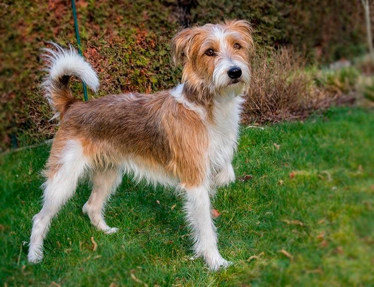 порода собак кромфорлендер