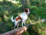 собака породы кромфорлендер