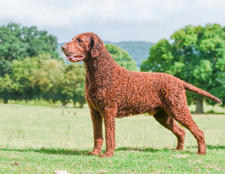 собака породы Курчавошерстный ретривер