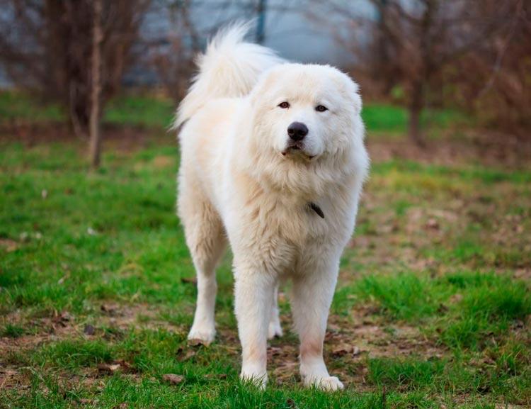 собака породы Мареммо-абруцкая овчарка