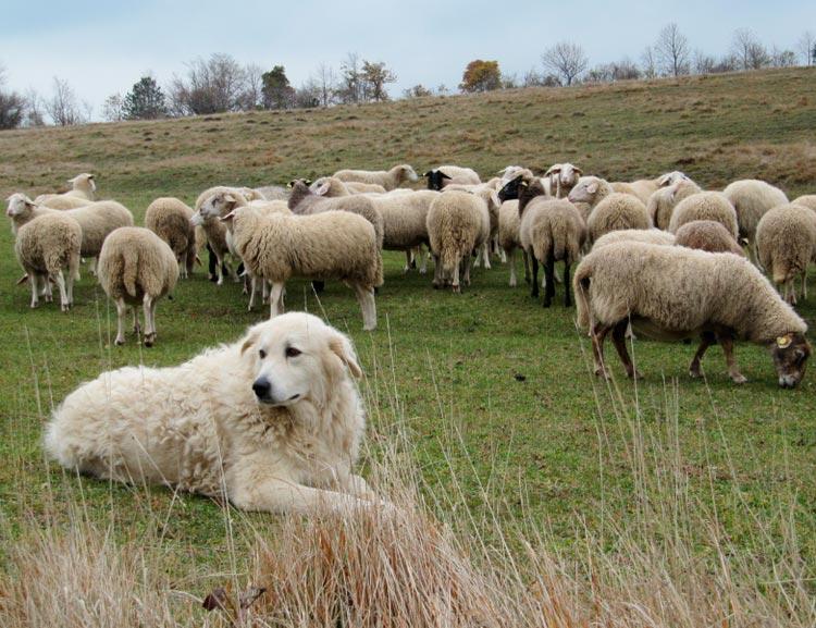 Мареммо-абруцкая овчарка стережет стадо