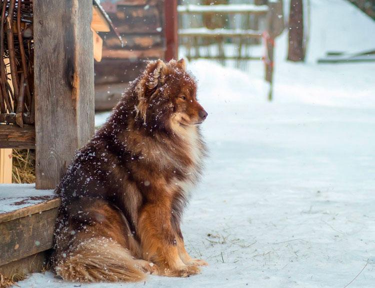 собака породы Ненецкая лайка