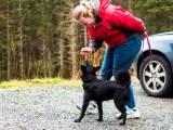 Норвежская лосиная лайка черная