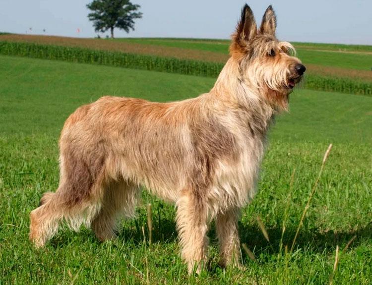 порода собак Пикардийская овчарка