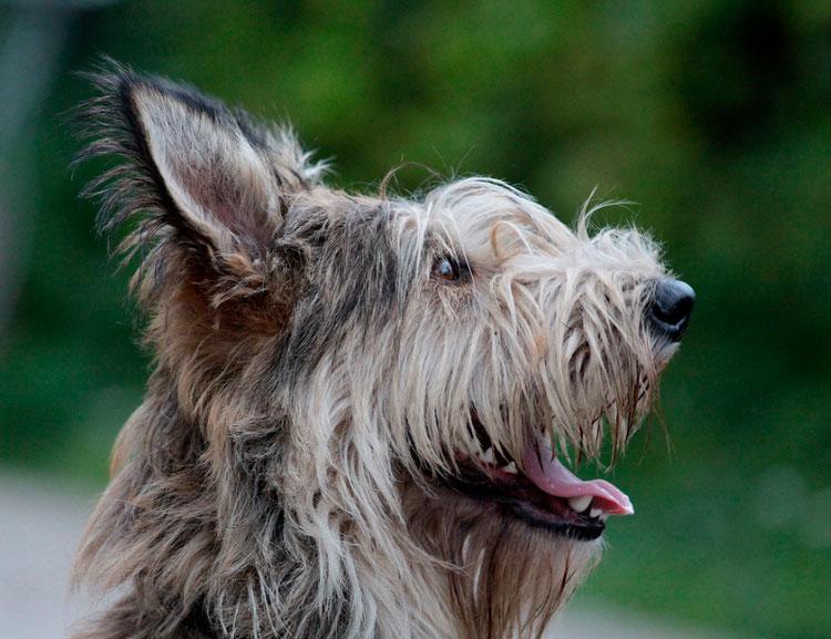 собака породы Пикардийская овчарка